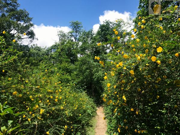 Những bông hoa vàng ngập khắp lối đi
