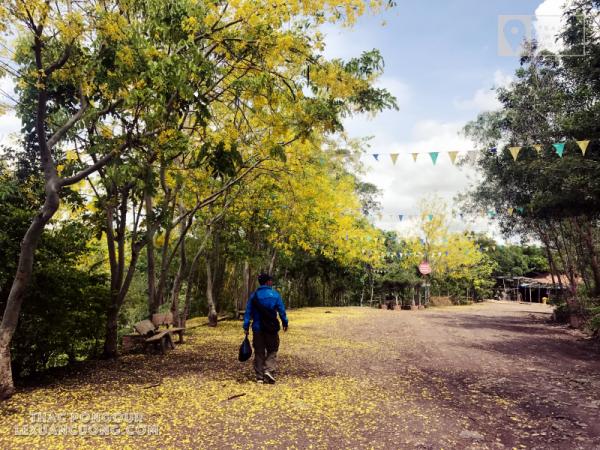 Hoa nở vàng trên đường vào khu du lịch thác Pongour, Lâm Đồng
