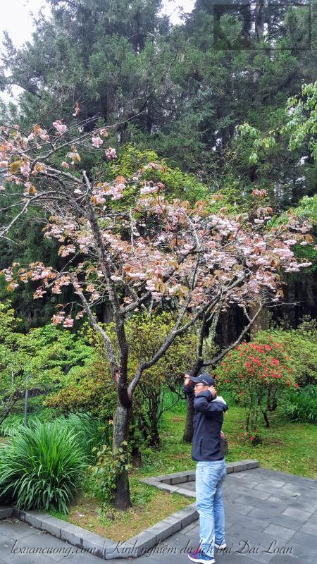Những bông hoa đào cuối mùa ở Alishan, Đài Loan.