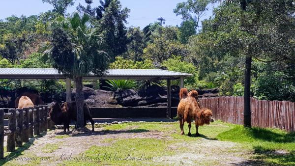 Lần đầu được nhìn thấy lạc đà.