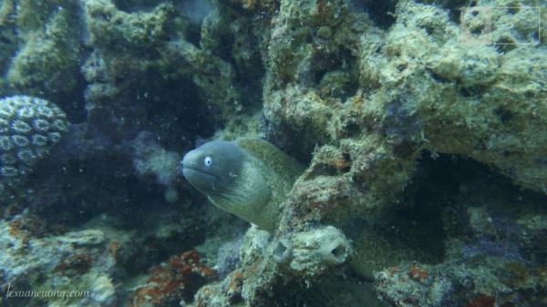Con cá chình, độ dài sẽ rơi vào khoảng hơn 1m.