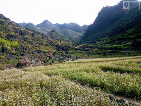 Loài hoa này mọc khắp nhiều cung đường ở Sũng Là, Đồng Văn...