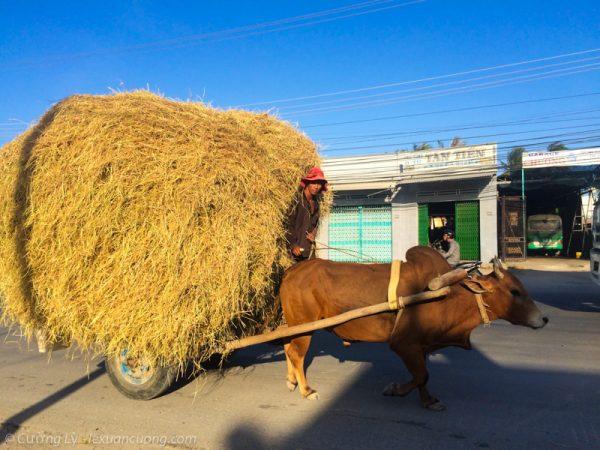 Những chiếc xe bò chở rơm cuối chiều.