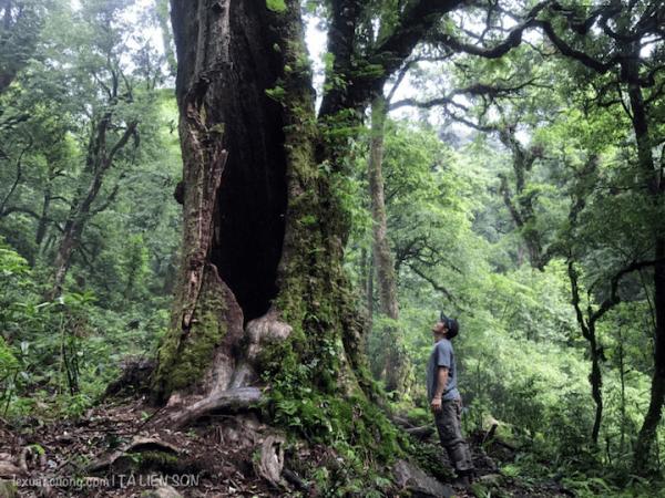 Cây cổ thụ còn lại trong khu rừng Tả Liên âm u và ma mị.