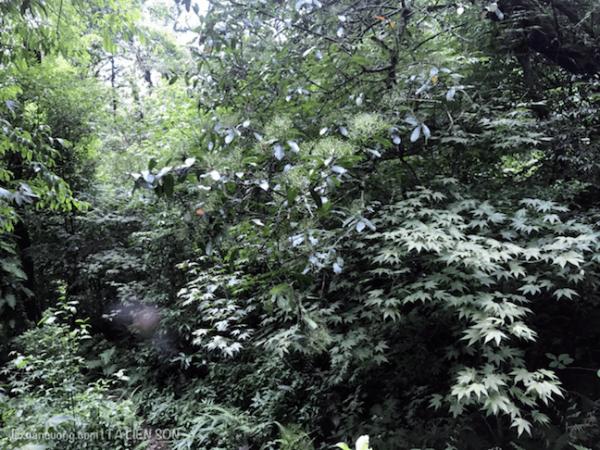 Những cây phong trên rừng Tả Liên Sơn sẽ đỏ rực vào mùa thu.