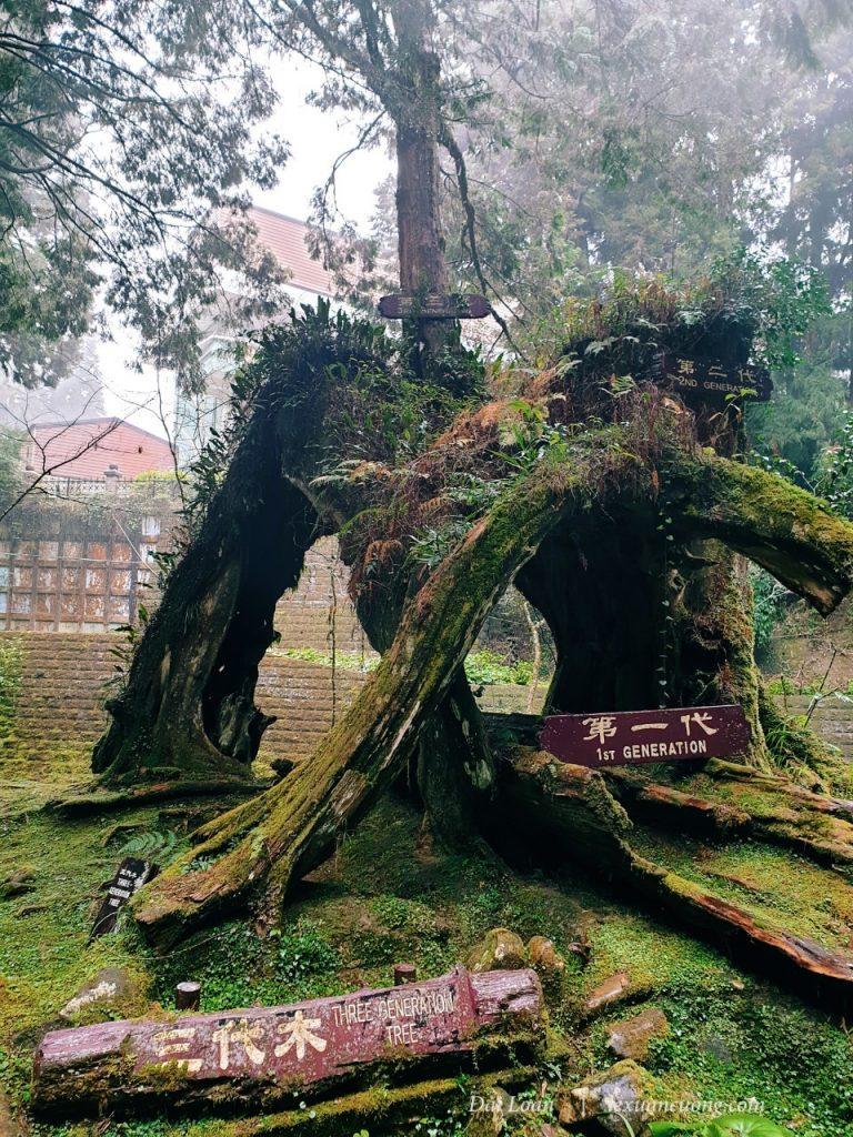 Cây 3 thế hệ ở rừng Alishan, thế hệ này chết đi, lại 1 thế hệ khác mọc lên.