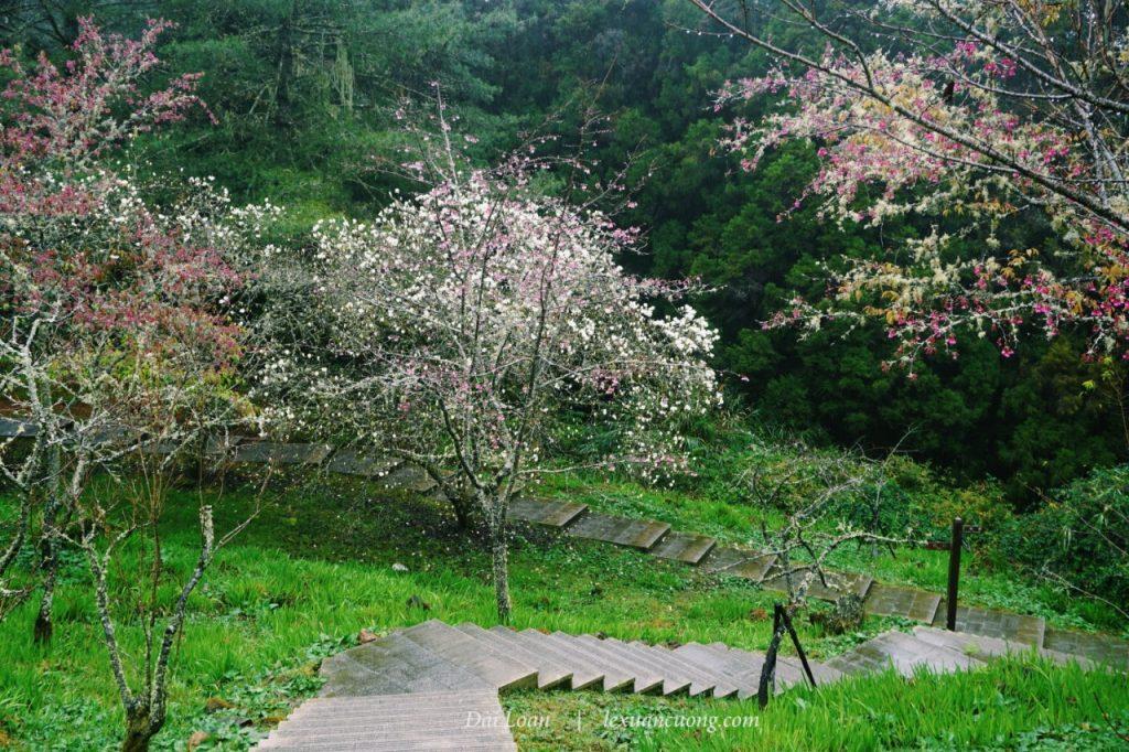 Sakura trail... mùa hoa nở