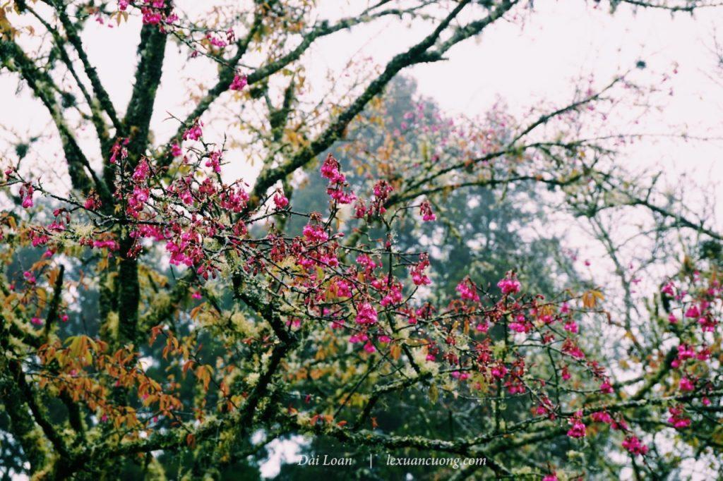 Hoa đào nở rực cây, nhưng bị mưa làm cho héo úa