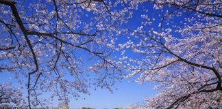 Công viên Ueno ngập tràn trong sắc hồng vào mùa hoa anh đào nở rộ, đẹp lãng mạn, thanh tao và bình yên. @ zekkei